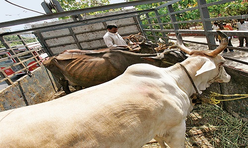 A-Man-Lynched-Smuggling-Cattle